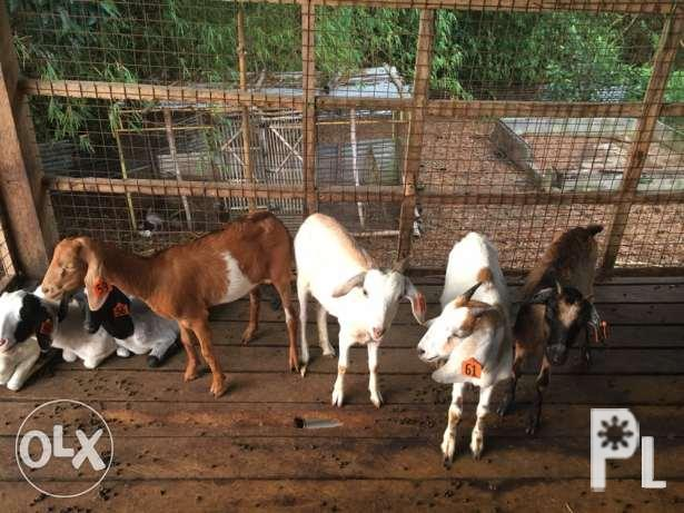 14 upgraded goats for sale for Sale in Manila, National