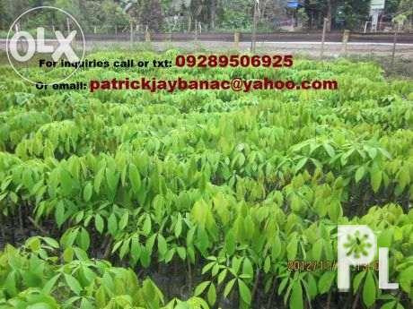 25Quality Budded Rubber Tree Seedling