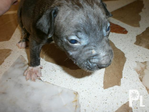 Pitbull+Lines Pin Male Pitbull Fighting Lines For Sale In Batangas ...