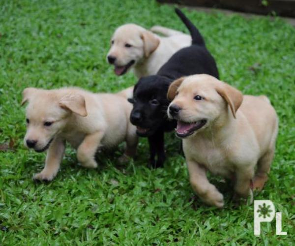 months old labrador puppies for Sale in Pura, Central Luzon ...