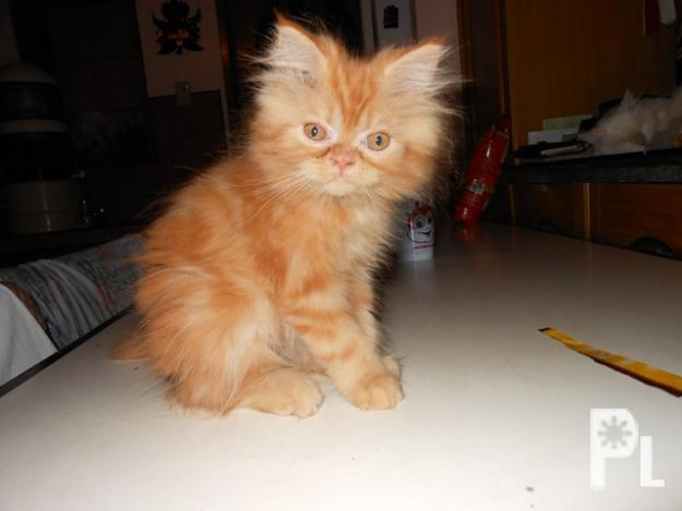 ... Persian Kittens - FFPI Registered in Los Baños, Calabarzon for sale