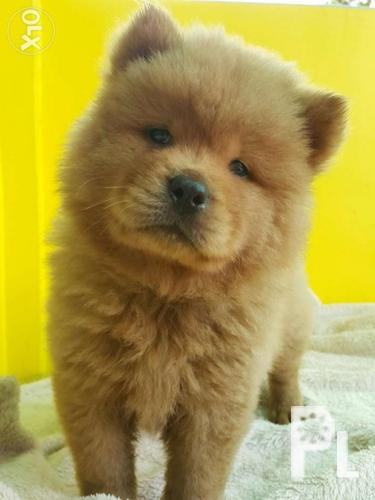Affordable Chow Chow Puppies For Sale In Bacolod City Western