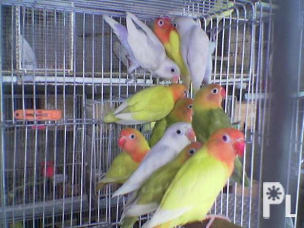 Afican Lovebirds for Sale