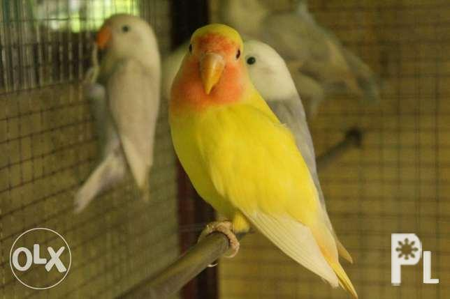 African LOVE Birds for Sale in Batangas City, Calabarzon Classified