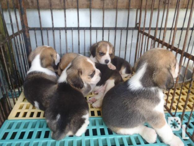 King Charles Spaniel Shedding For Sale Dogs In Baguio