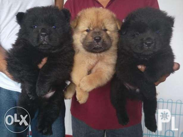 Beartype Black And Cinnamon Chow Chow Puppies Also Availble
