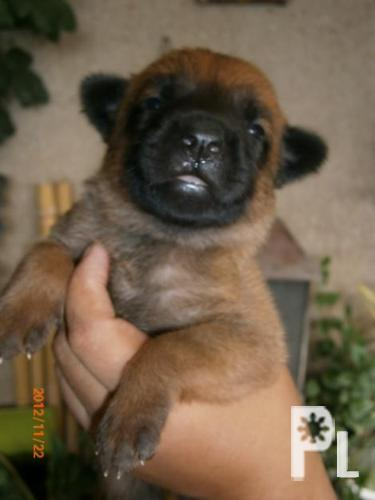 Belgian Malinois for Sale ? San Pedro