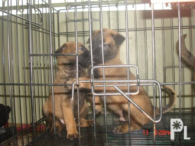 belgian malinois pcci papers for sale Belgian malinois pcci papers for sale we breed shih tzu and chihuahua pomeranians with papers coming soon labrador retrievers puppies, chocolate color, 8 weeks old.