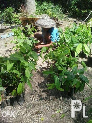 Casay Cacao Farm, tall seedlings for sale for Sale in