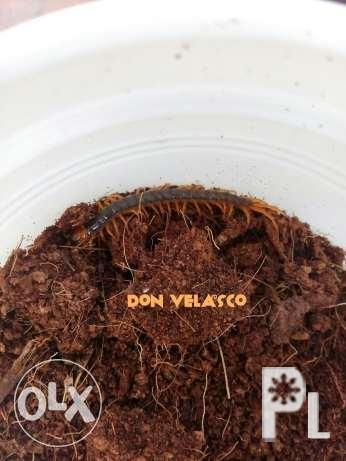 Centipede scolopendra spinosissima plings for Sale in