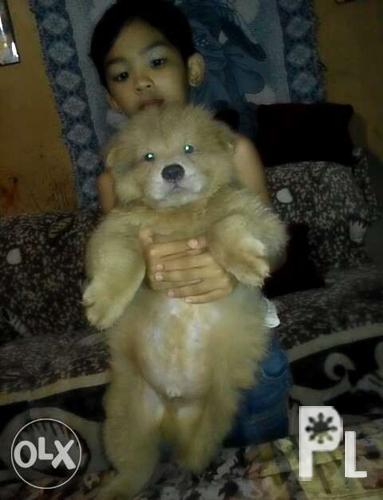 Cream Chow Chow For Rehome For Sale In Davao City Davao Region