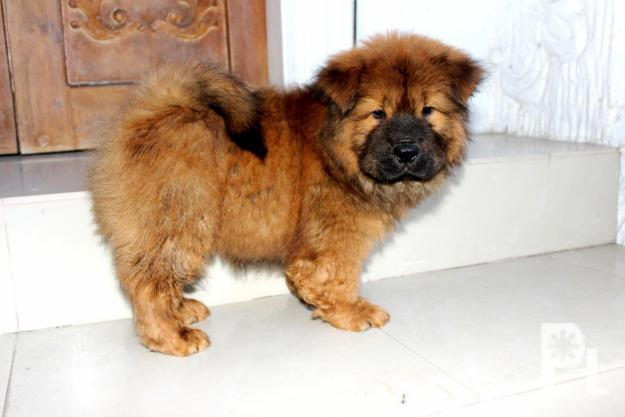 pcci papers for sale in philippines Ethical breeders in the philippines are very, very few and far between   pccipapersforsale pccipapersforsale2 an important point i want to make here  is this: papers of pedigree and vaccination records mean little coming.