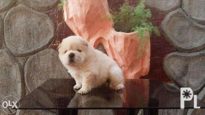 Cod Thai Import And Champion Bloodline Chow Chow For Sale In