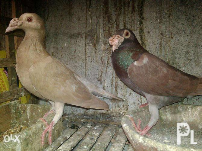 Image gallery for English carrier/Fancy pigeon or swap
