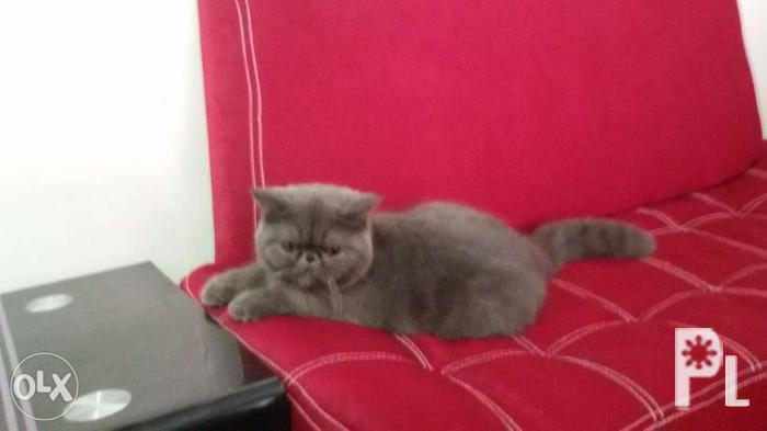 Exotic shorthair cat for sale for Sale in Malabon City