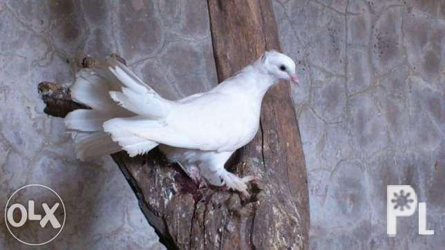 Fantail Pigeon For Sale In Iloilo City Western Visayas