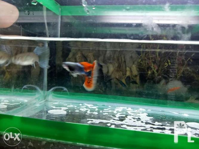 Fish Pair pure strain dumbo ear guppy for Sale in Manila, National