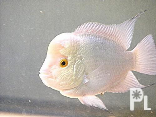 Flowerhorn fish zamboanga city for sale in zamboanga for Flower horn fish price