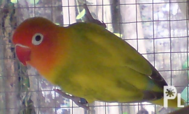 FOR SALE: AFRICAN LOVEBIRDS (EYERING) ? Tagum City