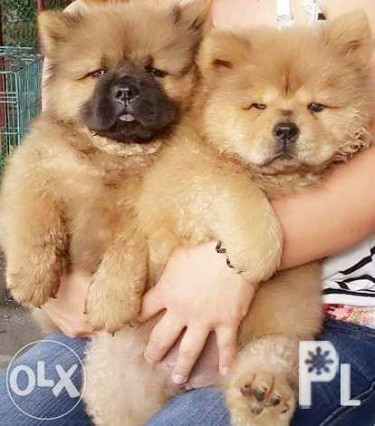 For Sale Chowchow Puppy For Sale In Bacolod City Western Visayas