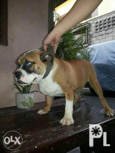For sale Exotic Bully for Sale in Cainta, Calabarzon Classified