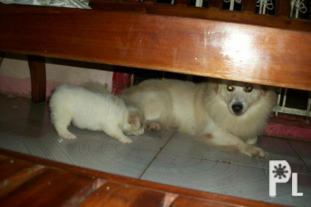for sale puppies pomeranian mix japanese spitz for sale in cebu city