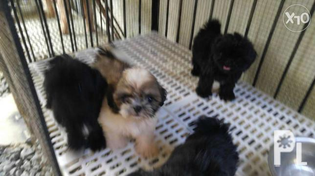 For Sale Pure Princess type Shih-Tzu puppies for Sale in