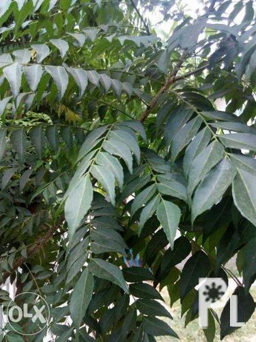 Fresh Curry Leaves and Curry Seedlings Blue Ternate