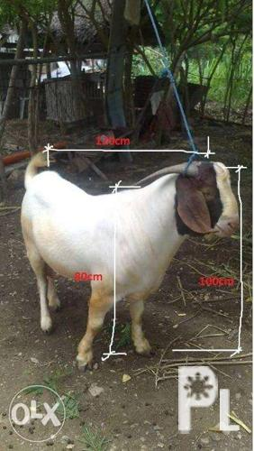 Full blood boer buck for sale for Sale in Calatagan