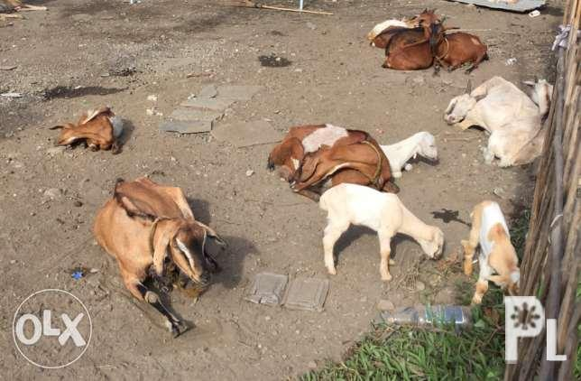 goat kambing for sale for Sale in Quezon City, National Capital
