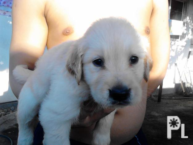 Golden Retriever Puppies For Sale Davao City For Sale In Davao