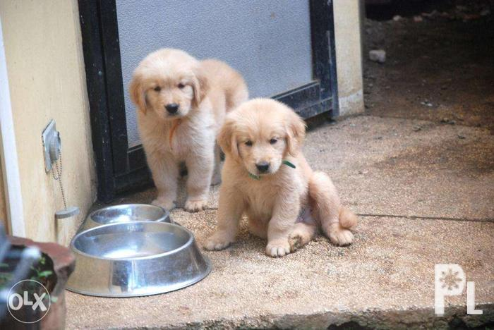 Golden Retriever Puppy Champ Line Puppies For Sale In Davao City