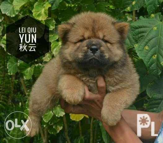 Imported line (Thailand X Europe) Female Chow Chow Puppy - Champ