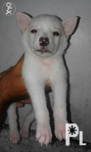 Japanese Spitz Female Puppy