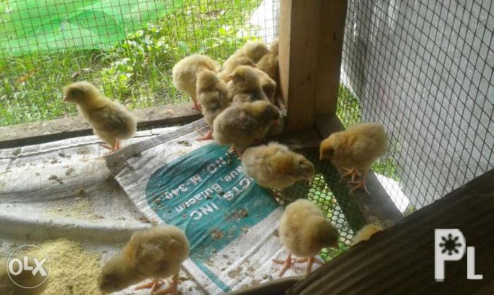 Kabir and Sasso chicks for Sale in San Miguel, Bicol Region
