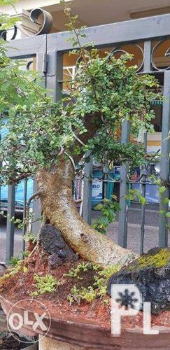 Kalyos Bonsai Tree for sale Php 7k only still