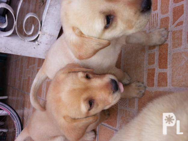 Labrador retrievers puppy