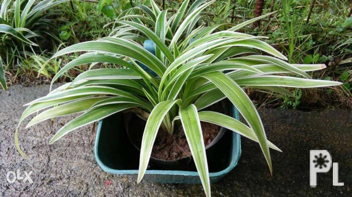 Live Lourdes Plants for Sale in Antipolo City, Calabarzon Classified