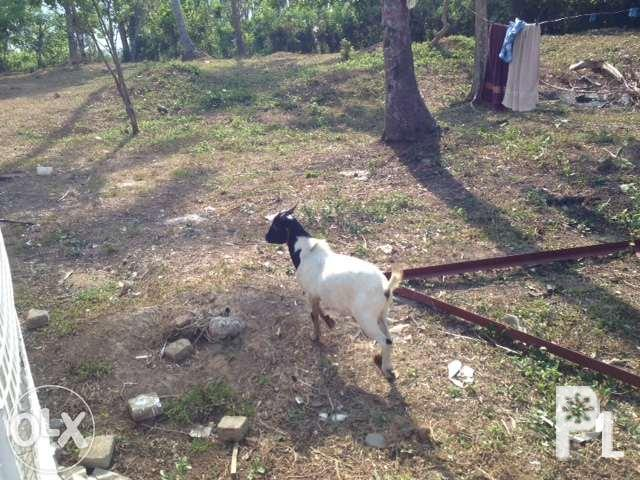 Male Goat For Sale, 5 pieces available