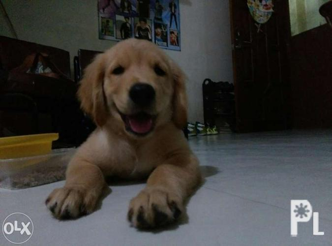 Male Golden Retriever Puppy 2months With Health Card For Sale In