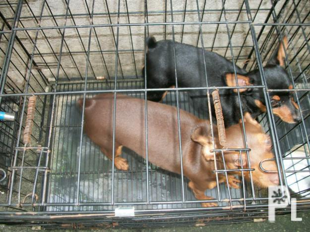 mini pinscher pcci papers for sale