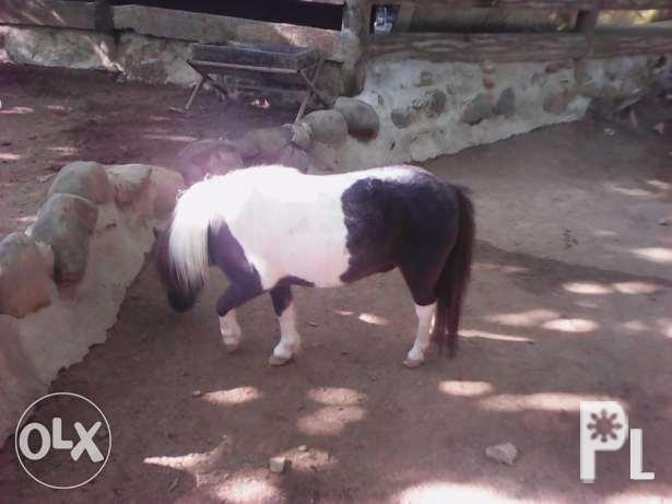 miniature horses' kabayo' horses' ponies for Sale in Manila