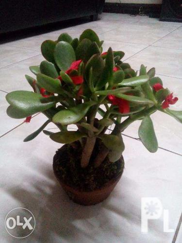Money Tree And Money Maker Plant For Sale In Quezon City National