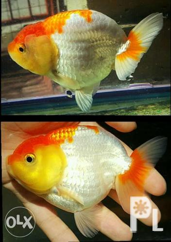 On Sale Quality Buffalo Ranchu Goldfish for Sale in Quezon City