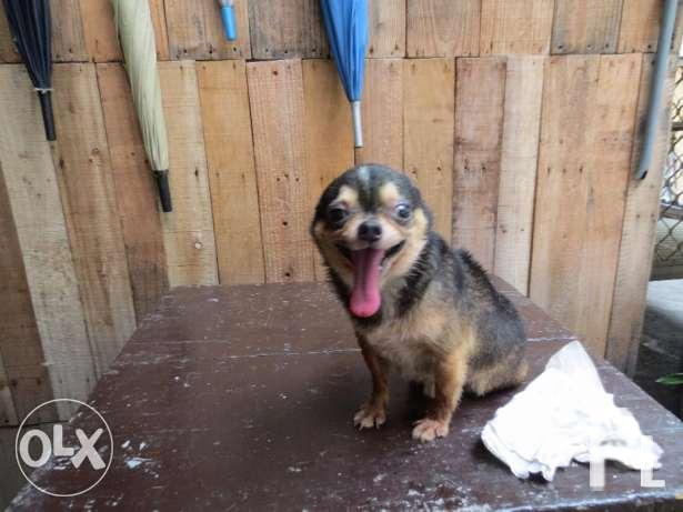 Adult chihuahuas for sale
