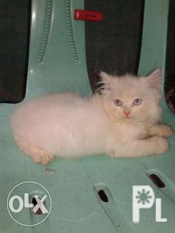 Persian cat male white for Sale in Cainta, Calabarzon Classified