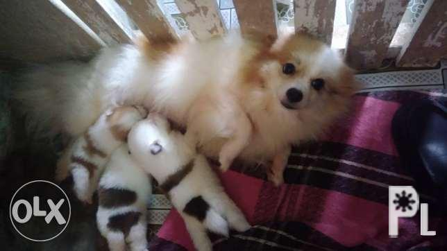 Pomeranian Puppy for Sale in Cagayan De Oro City, Northern Mindanao