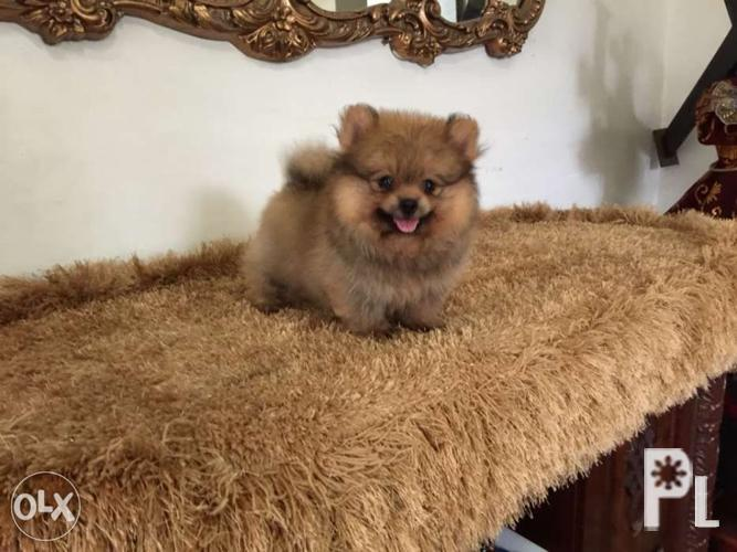 Pomeranian puppy for sale for Sale in Quezon City, National