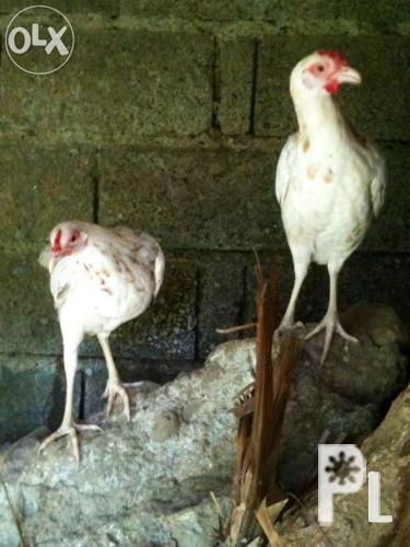 Pullets, Sinibalan, spangled, Winning Line, 7-8 months old