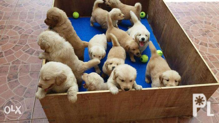 Pure Breed Golden Retriever Puppies For Sale In Lapu Lapu City Opon